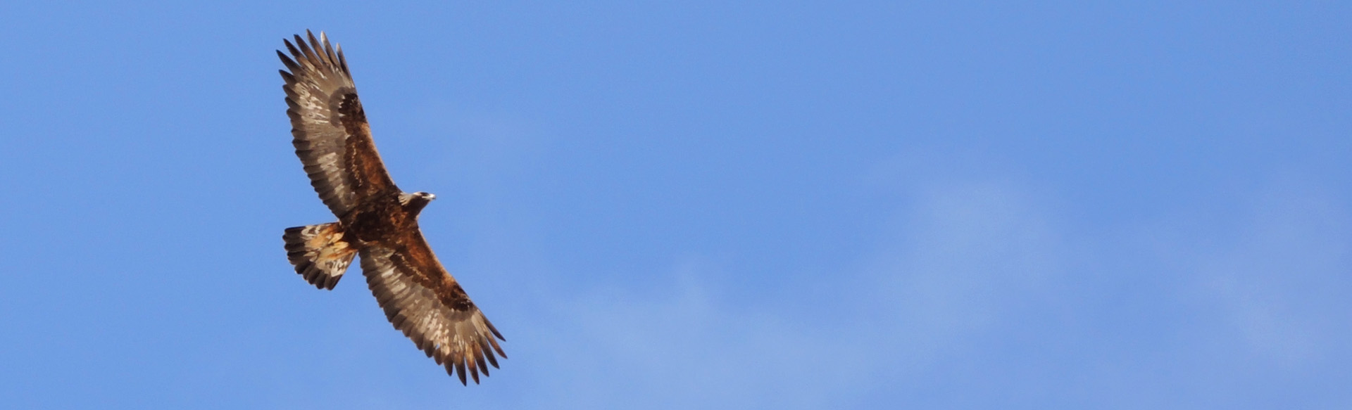 Golden Eagle In The Ecrins Massif French Alps