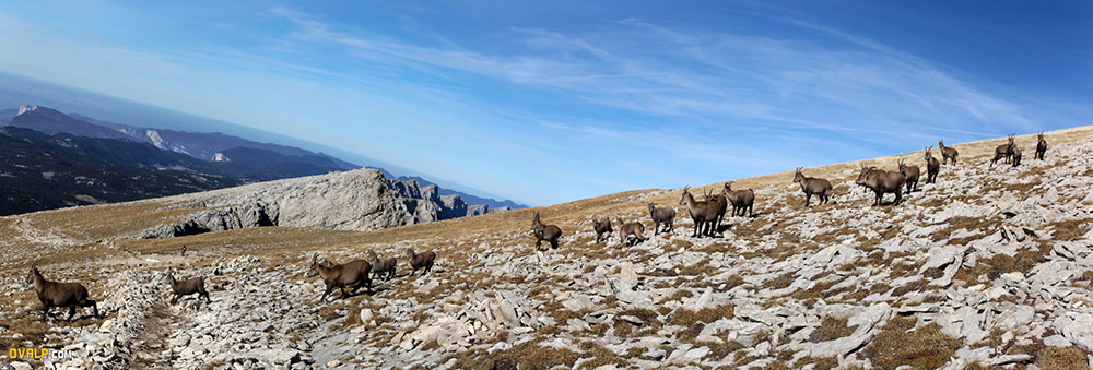 Panorama flock of Ibex at Grand Veymont in the Vercors