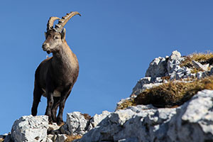 Ibex of the Vercors